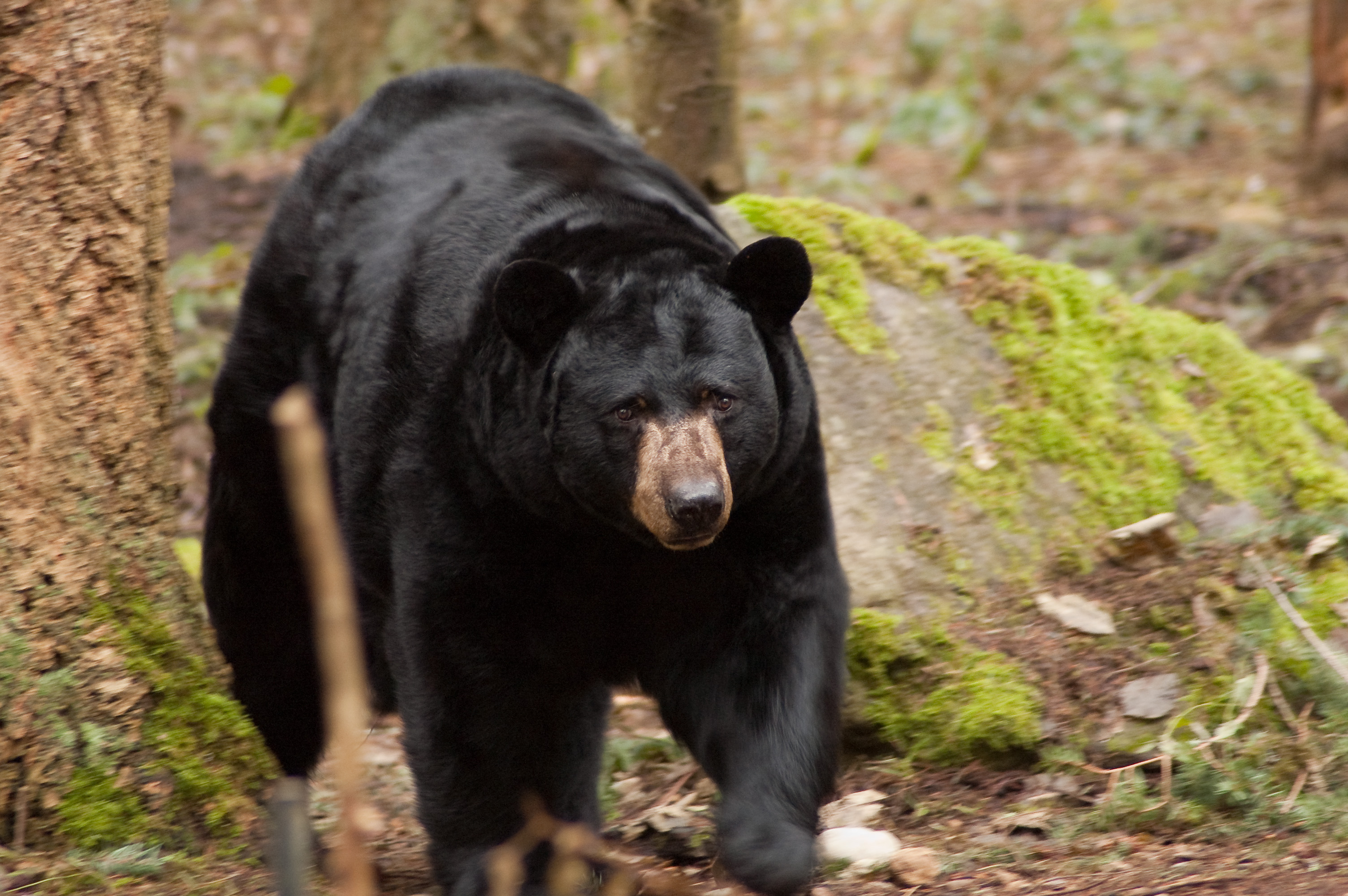 человек получил медведи в америке картинки узнаете, как приготовить