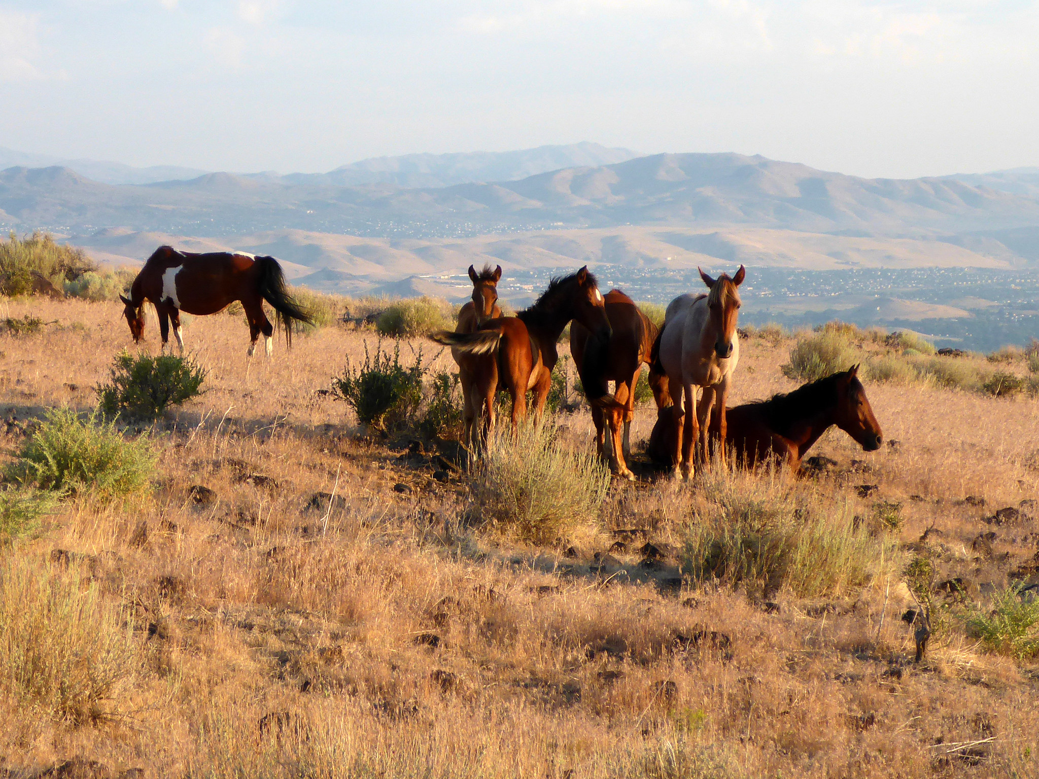 The Magical Place In Nevada Where You Can View A Wild Horses Herd I Wild horses in the united states