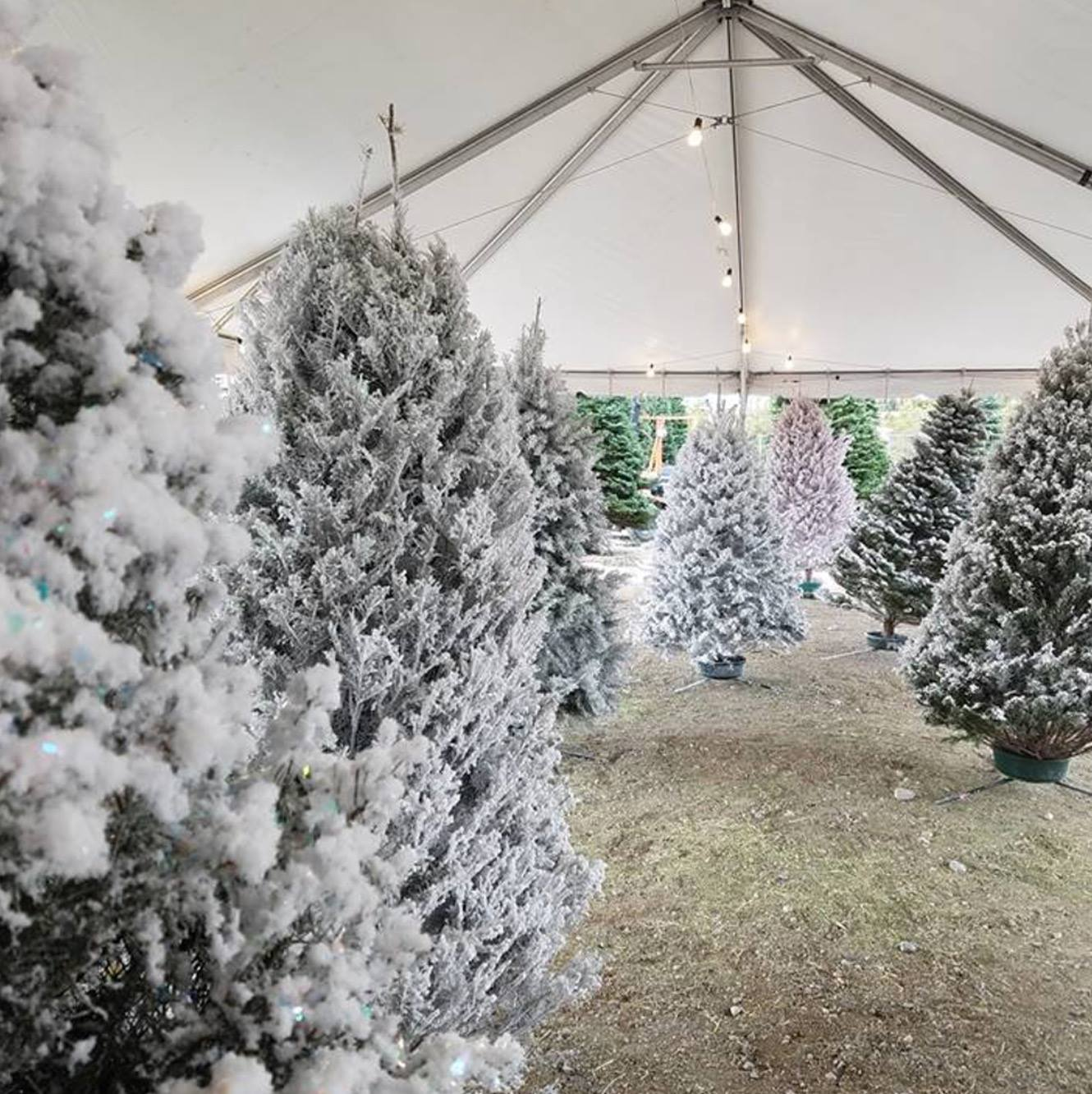 Boston Christmas Tree Delivery: Find Colorful Christmas Trees At Rudolph's Christmas Trees
