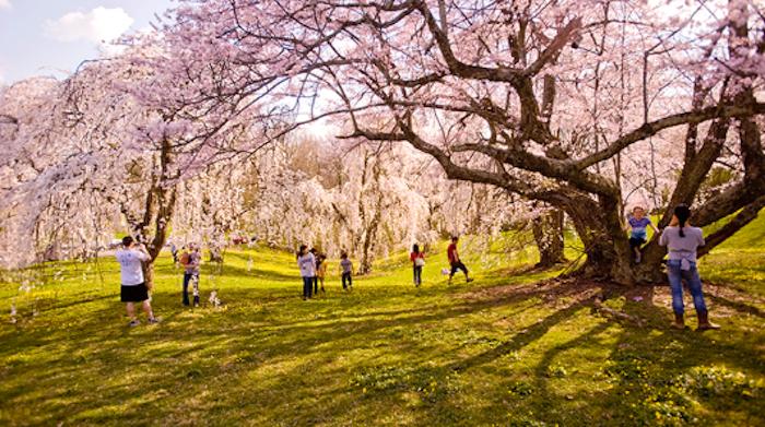 Visit A Beautiful Blooming Cherry Tree Grove In Cincinnati At Ault Park