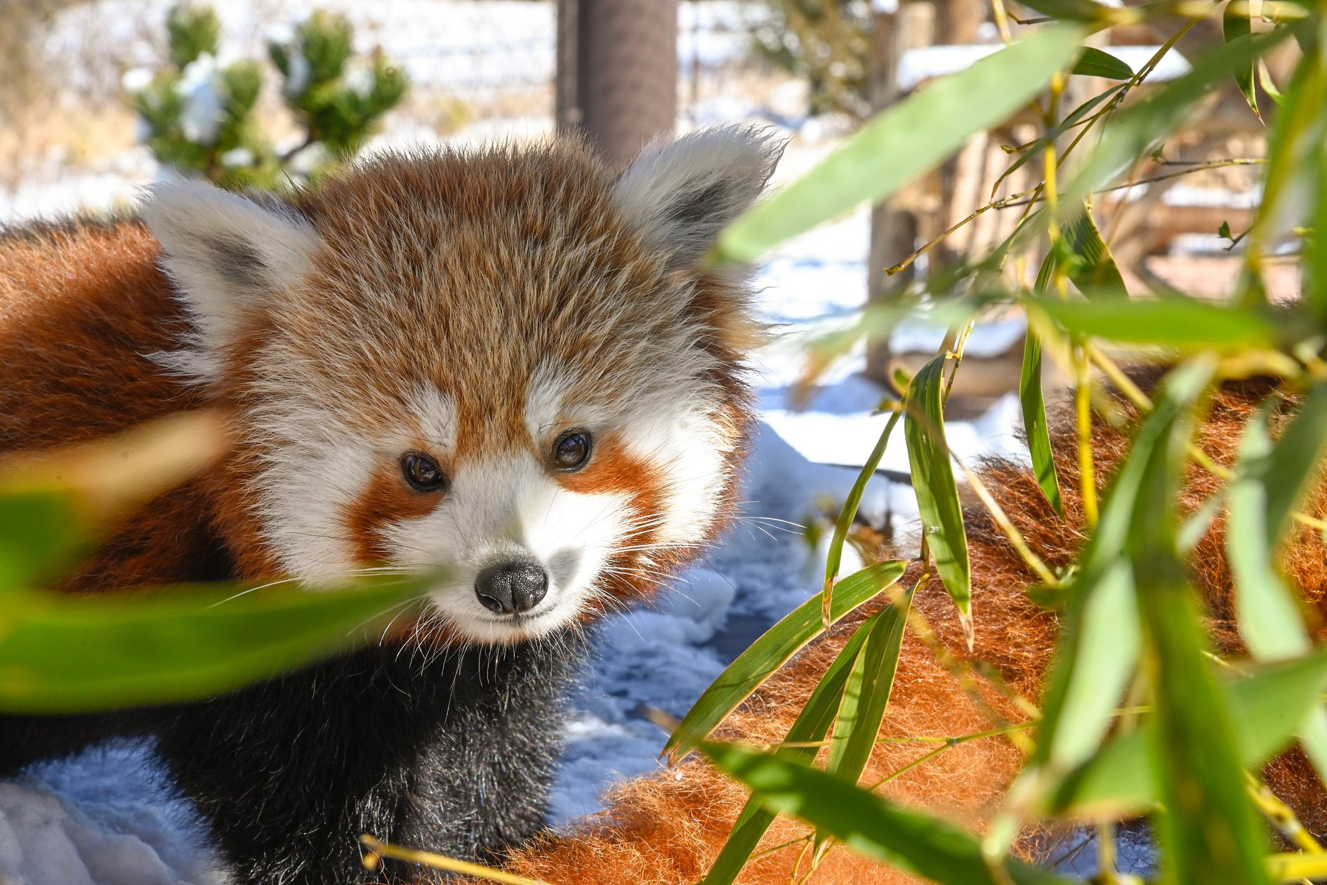 The Red Panda Cam At The Oklahoma City Zoo Is A Delightful Way To Experience Wildlife From Afar