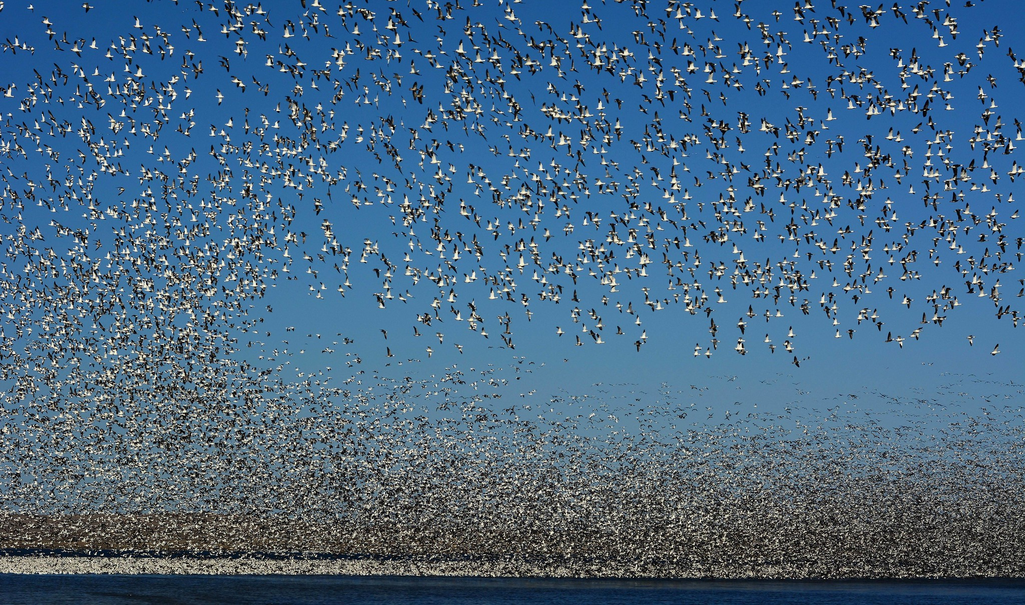 Millions Of Snow Geese Are Flying Right Over North Dakota During Their Spring Migration