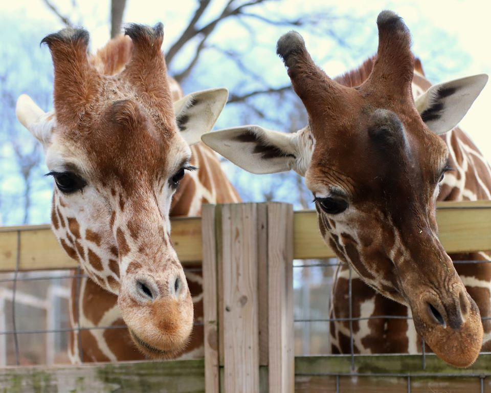 The Zoo In Pennsylvania That's Live Streaming Giraffes For Your Enjoyment
