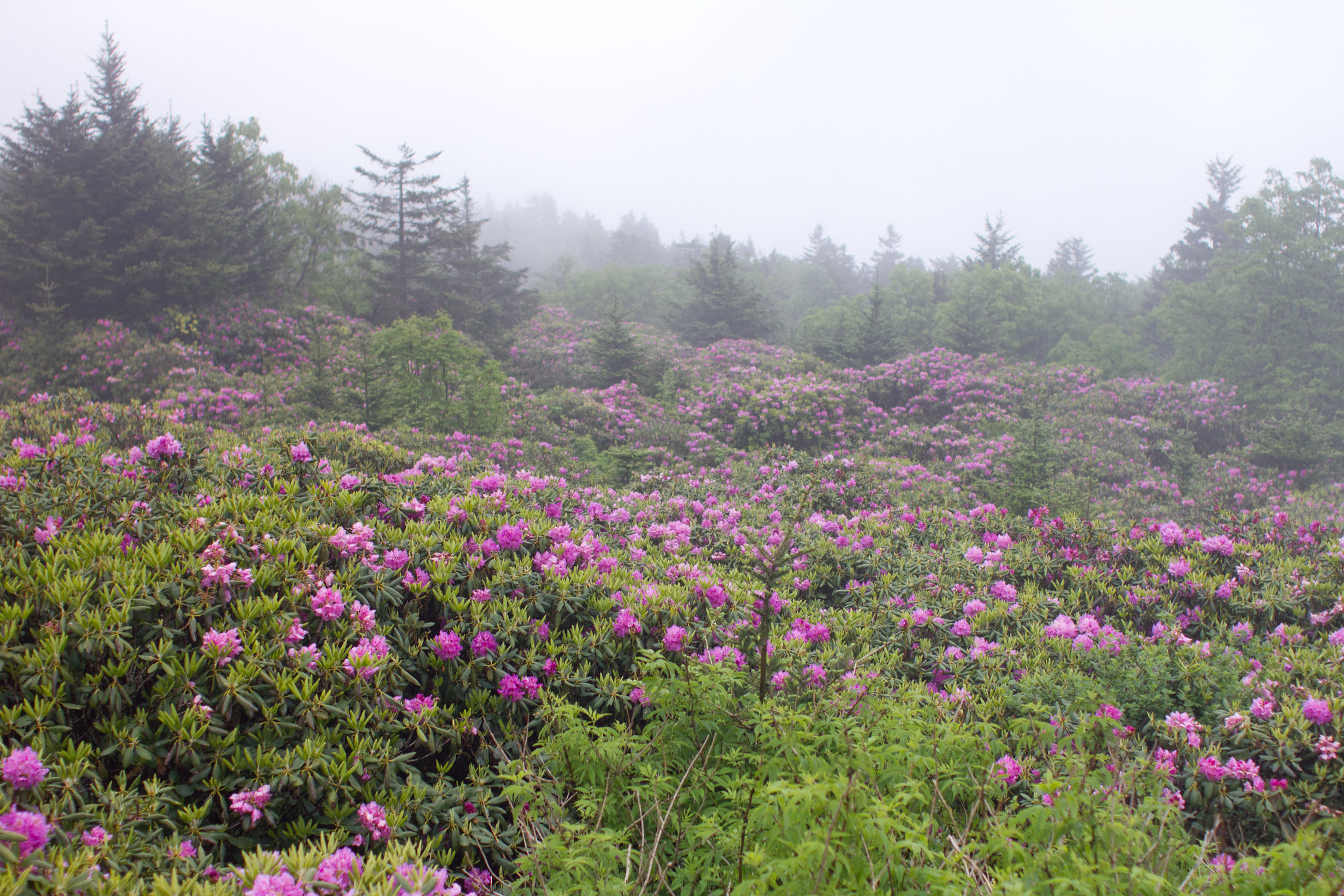 Roan Mountain In Tennessee Will Completely Transform When The Rhododendrons Bloom This Summer