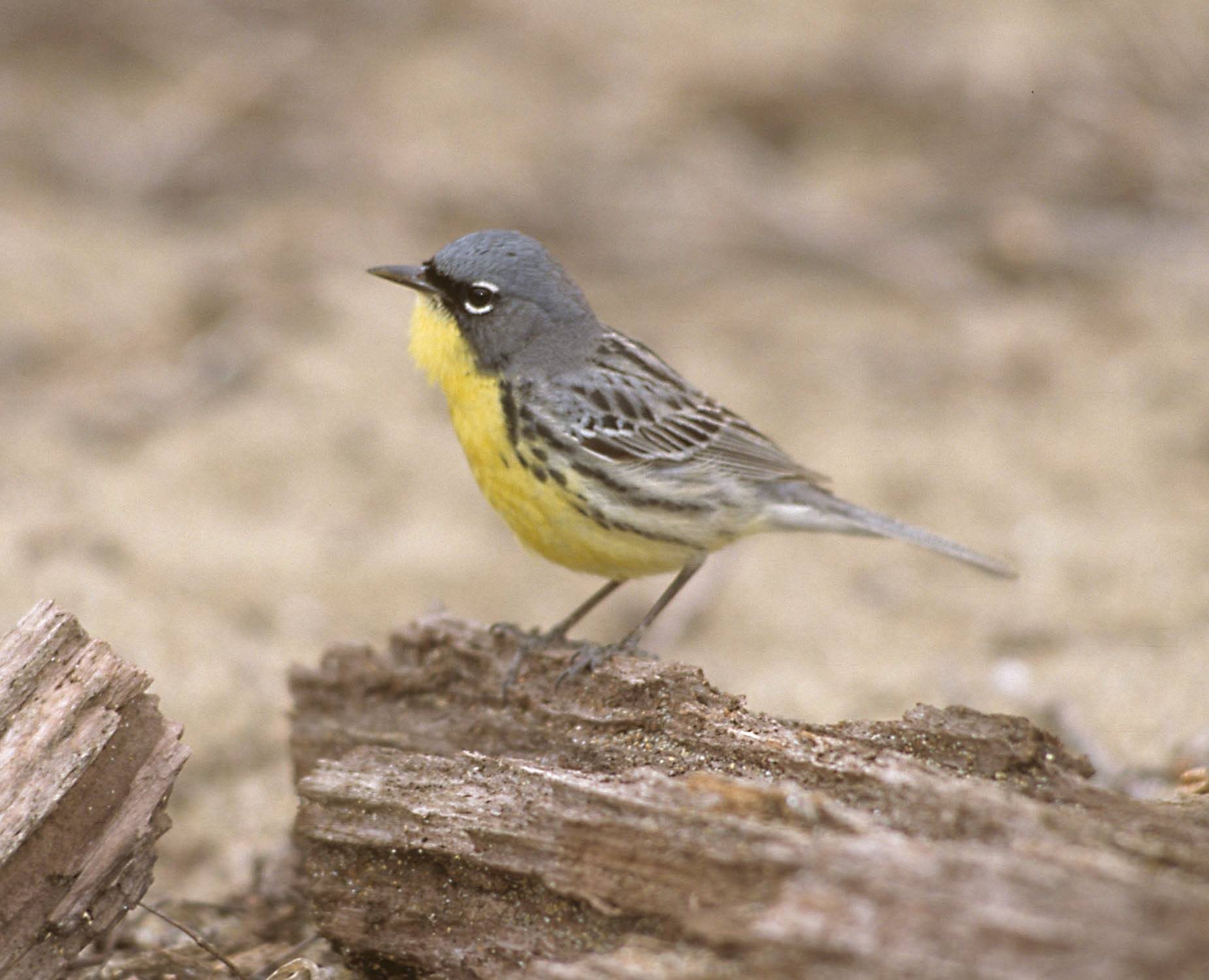 Thousands Of Adorable Jungle Songbirds Will Be Making Their Way Through Ohio In May