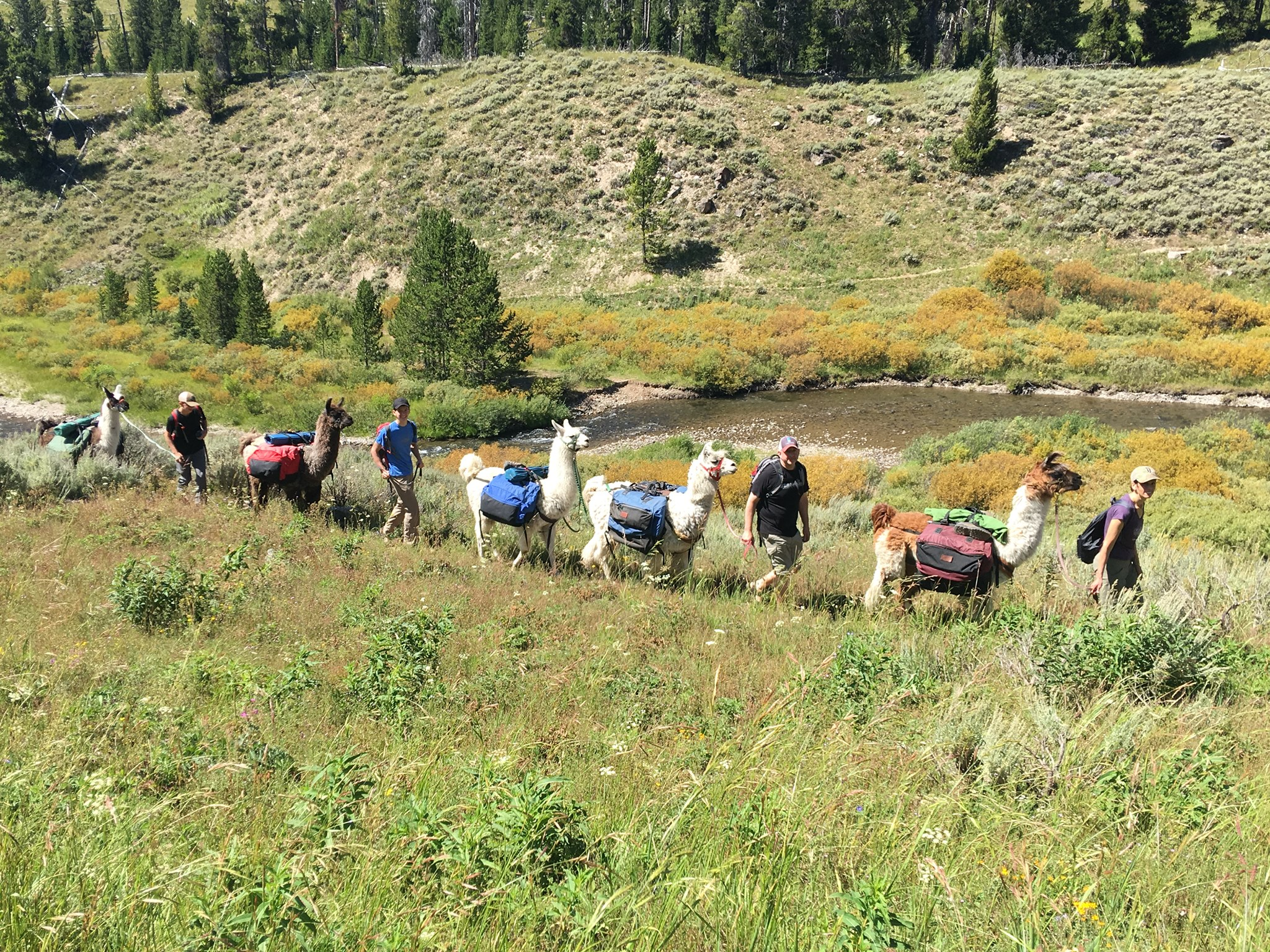Embark On A Llama Safari Through Yellowstone National Park With This Montana Company